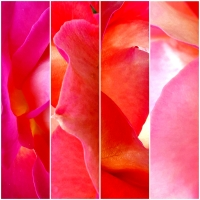 MACRO PHOTOGRAPHS ON THE FLOWERS: ROSES, 3 VARIATIONS ON THE THEME