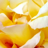 THE YEAR OF THE ROSES / MACRO PHOTOGRAPHS AND LIGHT TRANSPARENCY (#3)