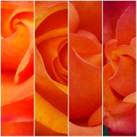 MACRO PHOTOGRAPHS ON THE FLOWERS: FOUR SHADES OF AN ORANGE ROSE