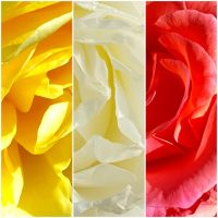 MACRO PHOTOGRAPHS ON THE FLOWERS: ROSES LIKE THE COLORS OF A FLAG
