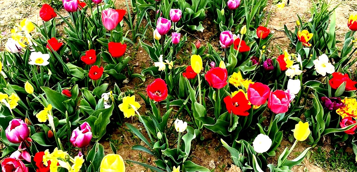 SCENES FROM A COLORFUL TULIPS FIELD (WAITING FOR THE BLOOMING OF THE ROSES)