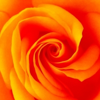 THE YEAR OF THE ROSES / IN THE VORTEX OF THE QUEEN OF FLOWERS